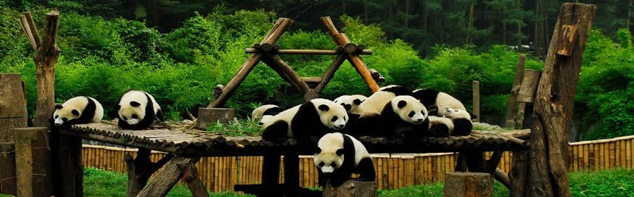 The Lovely Giant Pandas